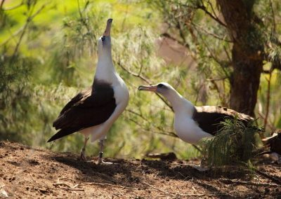 Laysan Albatross, Kauai
